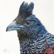 """5 - Banded Ground Cuckoo - Giclée Print on Canvas: 8"""" H x 8"""" W 