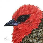 "7 - Mauritius Fody - Giclée Print on Canvas: 8"" H x 8"" W | $165 US"