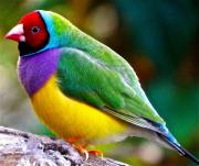 1 - 10    Australian Gouldian Finch