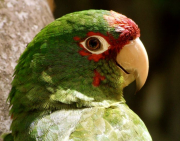 1 - 11    Red-masked Parakeet, Northwestern Peru Jungle