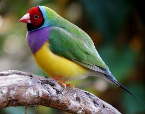 18 - Australian Gouldian Finch